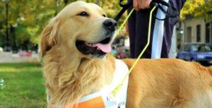 cane guida 300x153 - Hotel rifiutano l'accesso ai cani guida: la FISH scrive al Ministro Franceschini